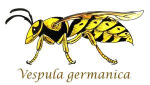 Vespula-Germanica-Shoo-Rayner-Wasp